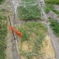 写真: スイカ畑