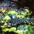 写真: 青いモミジ