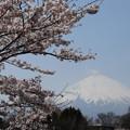 写真: 富士櫻花