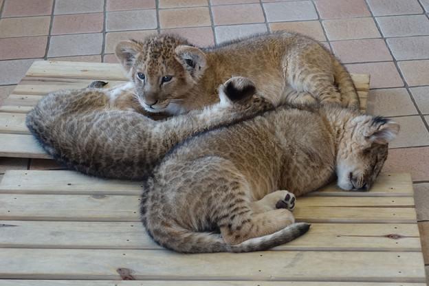 08_ライオンの赤ちゃん