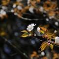 常照皇寺で一番先に咲く山桜