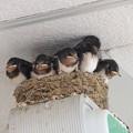 写真: ツバメの巣。