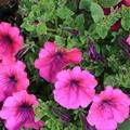写真: 五月の雨-笑顔のサフィニア