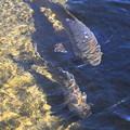 Photos: 生水に泳ぐ