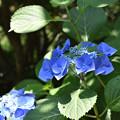 紫陽花 44