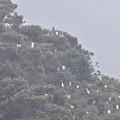 サギの集団 1