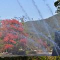 Photos: 噴水とカイノキ