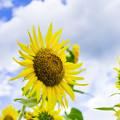 写真: 夏空に咲く向日葵