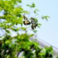 アゲハ蝶 W