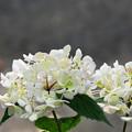 白紫陽花(アナベール)