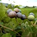 写真: 野葡萄
