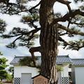 写真: 亀甲の松