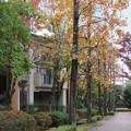 ユリノキ並木道2