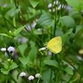 170712_019-Commom Grass Yellow