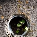 Photos: 穴に育つ