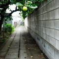 Photos: 夏柿