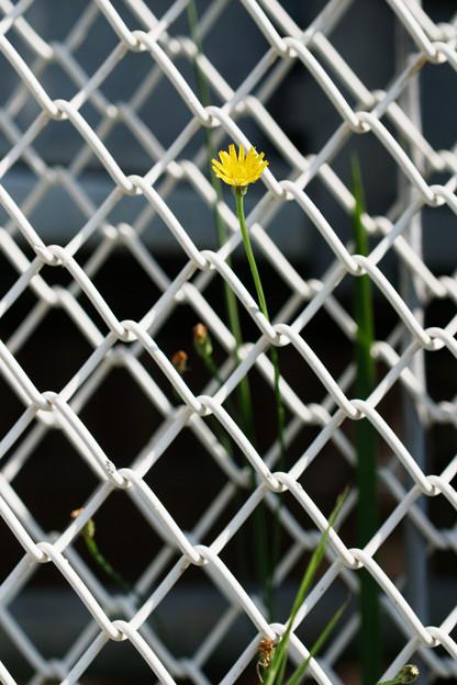 写真: フェンスの花