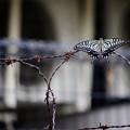 写真: 棘と蝶