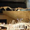 鯨類の祖先 (いのちのたび博物館)   DSC05320