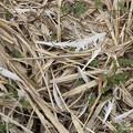 写真: サギの捕食痕