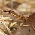 Photos: ニホンカナヘビ