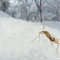 写真: クモガタガガンボの一種