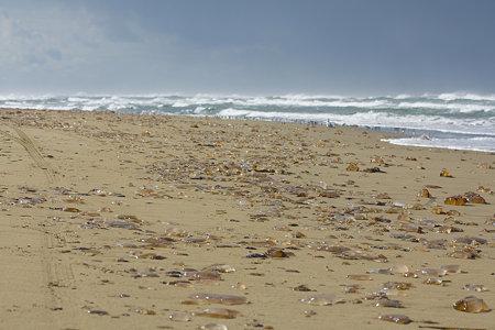 浜に打ち上げられた、エチゼンクラゲ