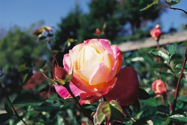 晩秋の薔薇 3