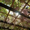 日がさす藤棚