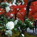 山茶花と椛