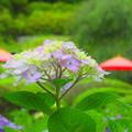 Photos: 紫陽花傘