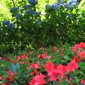 ツツジと紫陽花