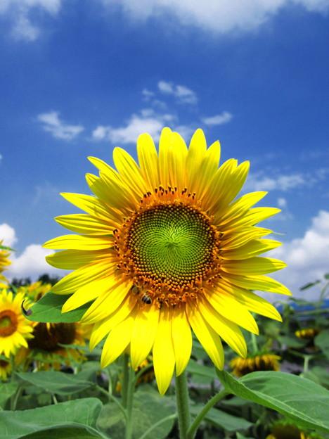 小野の向日葵