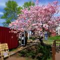 写真: 桜のカフェ