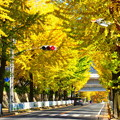 写真: 天理の銀杏並木6