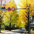 Photos: 天理の銀杏並木4