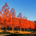 メタセコイア並木