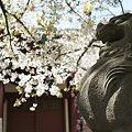 Photos: 稲毛神社の桜と狛犬2
