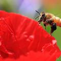 写真: 黒い花粉団子