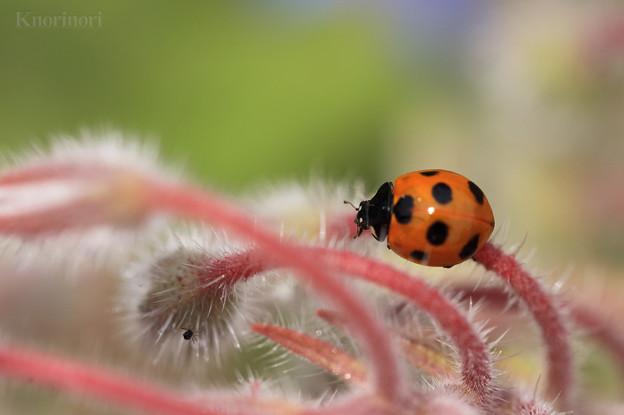 かわいらしい肉食昆虫