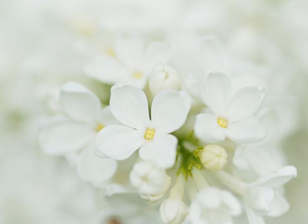 ホワイト ライラック
