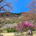 写真: 春の屏風岩公苑