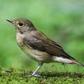 写真: キビタキ・若鳥 1