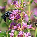 写真: 幸せを呼ぶ青い蜂