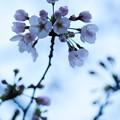 さくら咲く 2017 file-018
