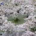 写真: 桜吹雪の庭園