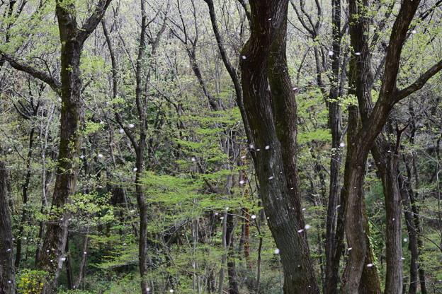 写真: 桜から新緑へ