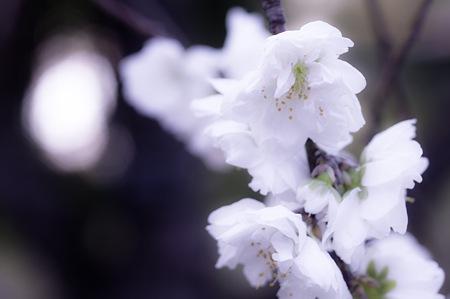 20110414昭和記念公園_桜06