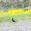 写真: お花畑を散策するキジさん~