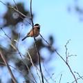 写真: 高枝にて囀る小鳥さん~